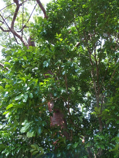 Touristenbaum